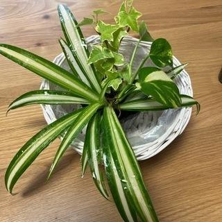 観葉植物 オリヅルラン アイビー