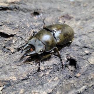 モーレンカンプオオゴンオニ♂52ミリペア