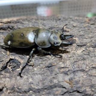 モーレンカンプオオゴンオニ♂52ミリ