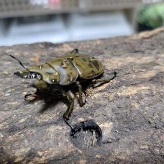 モーレンカンプオオゴンオニ♂49ミリ