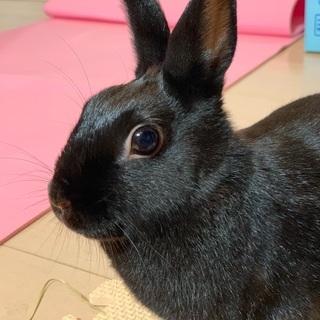 漆黒美人な黒のネザーランドドワーフウサギです。