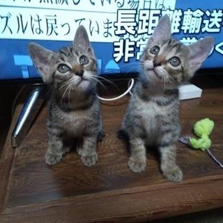 【里親様を募集します】キジトラの子猫2匹