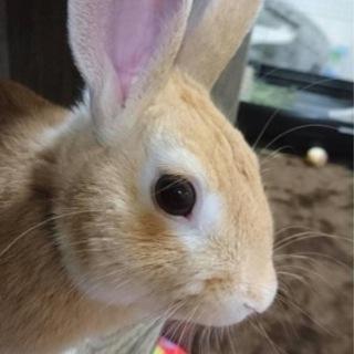 急募 ミニウサギ♂2歳4ヶ月