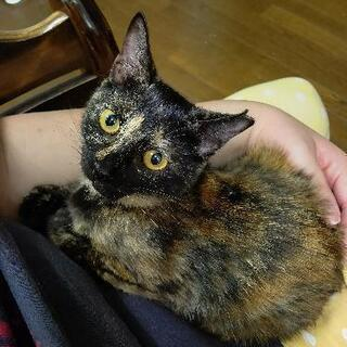 サビ仔猫ちゃん5~6ヶ月 − 千葉県