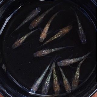⭐️三色ラメ鰭長めだか⭐️ 10匹+α  お買い得です!