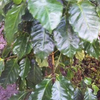 (在庫処分セール) コーヒーの木