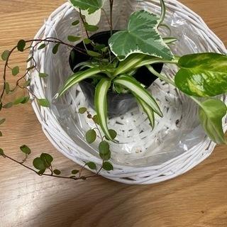 観葉植物 オリヅルラン 他3つセット