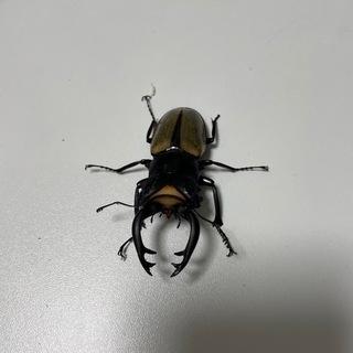 ラコダールツヤクワガタ (Odontolabis lacorda...