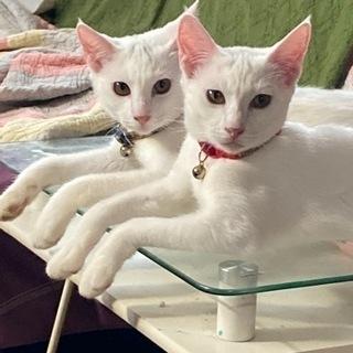 美白双子猫ちゃん