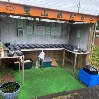 【ネット決済】メダカとミジンコ 里山めだか無人販売所 10/19出店