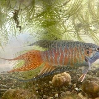 ブルーパラダイスフィッシュ 若魚