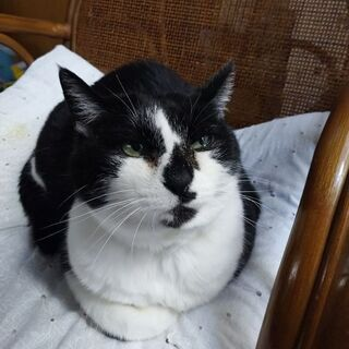 白黒パンダのお婆ちゃん猫(15~17歳)