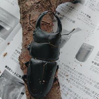オオクワガタ♂♀ペア(飼育ケース付き)