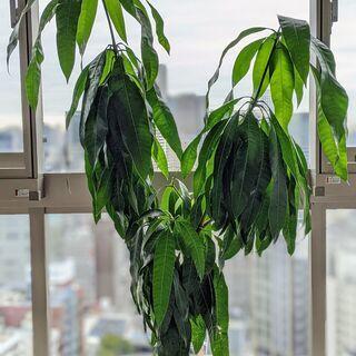 トロピカル植物:マンゴーの木!!(接木なし)