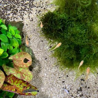 楊貴妃ラメ幼魚 5匹とミナミヌマエビ(稚エビ)5匹