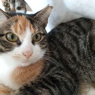 おしゃまな八割れ三毛エル 妹猫と