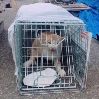 相談中!捕獲しました 雄の成猫