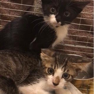 仲良し兄妹 3ヶ月子猫