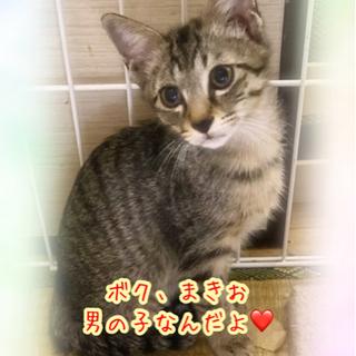 【譲渡会参加猫】女の子みたいに可愛い男の子です