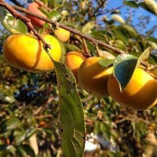 ①柿❗️完全無農薬❗️