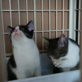 子猫、二匹里親募集【至急】