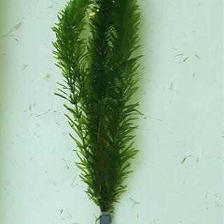 水草 アナカリス 金魚藻