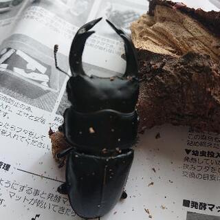 オオクワガタ♂♀ペア(飼育ケース付き)③