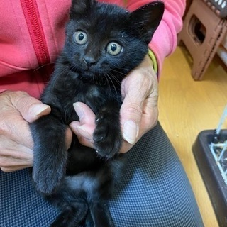 黒猫 首周り少し白 女の子 生後約2ヶ月