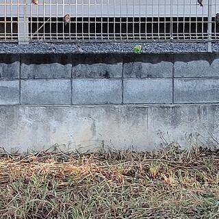 志木市中宗岡1丁目の田んぼに現れるセキセイインコの情報を教…