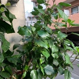 ハイビスカス 観賞植物『引き取りに来てくれる方限定』