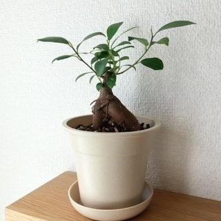 観葉植物 ガジュマル⑩ 21cm ナチュラルカラーの3.5…