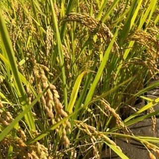 ヒノヒカリ新米  籾付き30キロ ③