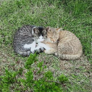 【去勢予定】懐っこい美人子猫きょうだい