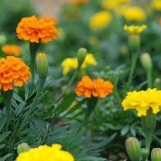 無料】⑧ 来年の種まき用 マリーゴールド 植物の種