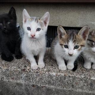 子猫 4匹  9月6日生れです