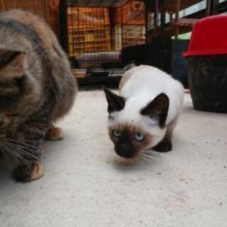 生後3ヶ月ごろのシャム猫さん