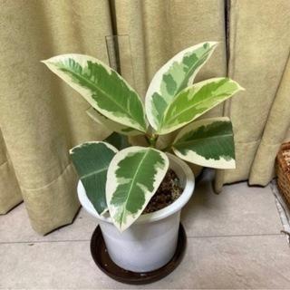 インドゴムノキ フィカス属 斑入り(30cm)観葉植物