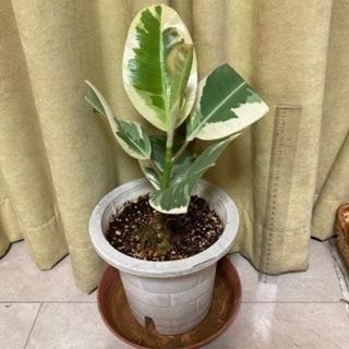 インドゴムノキ フィカス属 斑入り(45cm)観葉植物
