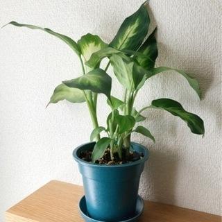 観葉植物 ディフェンバキア・カミーラ 29cm ブルーカラ…