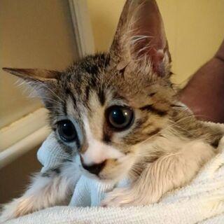 まんまるおめめ4ヶ月ほどの保護猫男の子です