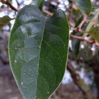 ①柿の葉❗完全無農薬❗️お茶にメダカにどうですか⁉️