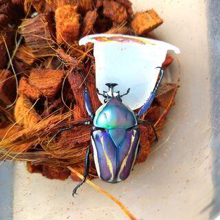 シロヘリオオツノカナブン 幼虫10頭セット