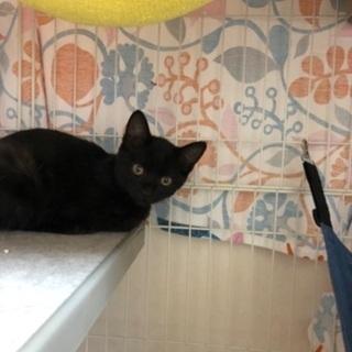 黒猫とキジトラの子猫急募