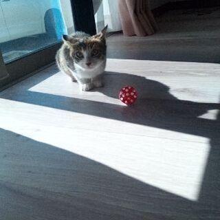 【二ヶ月】人懐っこい子猫の三毛猫ちゃんです