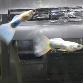 国産グッピー「ドイツイエロープラチナブルータキシード」稚魚300円