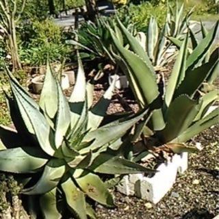 植物 アロエ 庭木