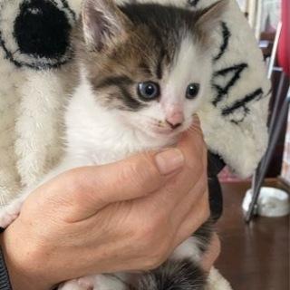 キジ白 子猫 オス 生後5週