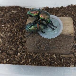 ニジイロクワガタの幼虫10匹まで