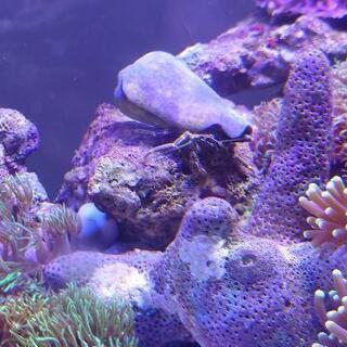 【引取限定】ヤドカリ3匹 海水水槽苔取りに最適