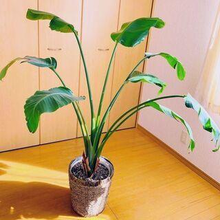 観葉植物 ストレリチアオーガスタ